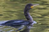cormorant 80