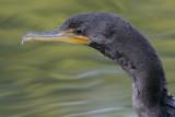 cormorant 83