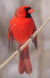 cardinal 288
