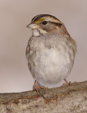white-throated sparrow 121