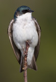 tree swallow 132