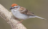 Chipping Sparrow in Breeding Plumage