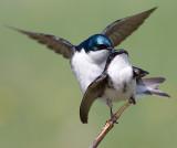 tree swallow 150