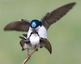 tree swallow 151