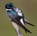 tree swallow 159