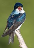 tree swallow 160