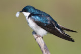 tree swallow 162