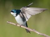 tree swallow 178