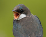 tree swallow 183