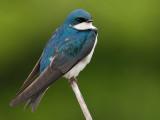 tree swallow 181