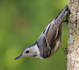 white-breasted nuthatch 234