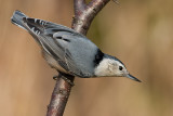 white-breasted nuthatch 237
