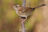 white-throated sparrow 133