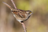 white-throated sparrow 134