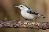 white-breasted nuthatch 238