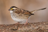 white-throated sparrow 135