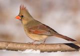cardinal 299