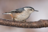 white-breasted nuthatch 242