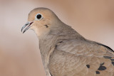 mourning dove 51