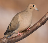 mourning dove 53