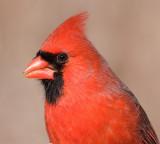 cardinal 300