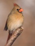 cardinal 301