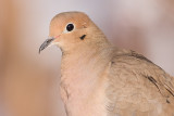 mourning dove 54