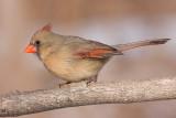 cardinal 302