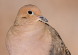 mourning dove 57