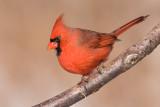cardinal 303