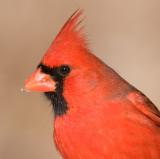 cardinal 304