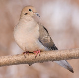 mourning dove 59