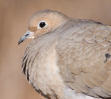 mourning dove 61