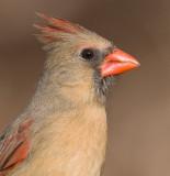 cardinal 305
