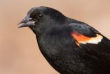red winged blackbird 238