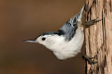 white-breasted nuthatch 248