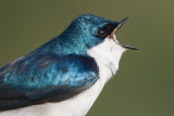 tree swallow 195