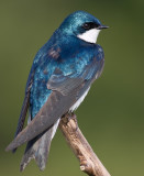 tree swallow 198