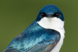 tree swallow 204