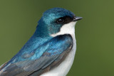 tree swallow 205