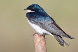 tree swallow 207