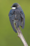 tree swallow 210