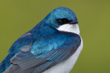 tree swallow 213