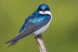 tree swallow 214
