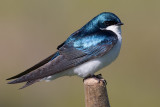tree swallow 215