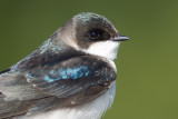 tree swallow 216