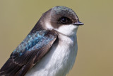 tree swallow 217