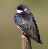 tree swallow 219