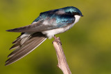 tree swallow 221
