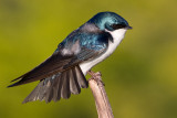 tree swallow 22
